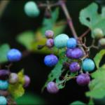 野葡萄(ノブドウ)の季節・育て方・効能と画像も紹介