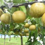 秋の味覚 梨 野田梨園 岩手・花泉 梨の花、栄養についてもご紹介