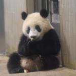 上野動物園・ジャイアントパンダ・シャンシャン 最新映像公開