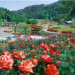 東沢バラ公園 秋のバラまつり2018 9月14日から開催 バラソフトはいかが?