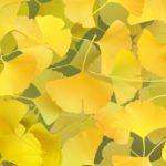 銀杏(いちょう)・銀杏(ぎんなん)の実の栄養 フライパン・レンジ簡単な食べ方 防虫効果
