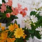 レウィシア エリーゼ(新品種) 岩花火 育て方・花言葉・花の画像