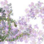 ローズマリーの効能や使い方 育て方・剪定・増やし方 聖なる植物